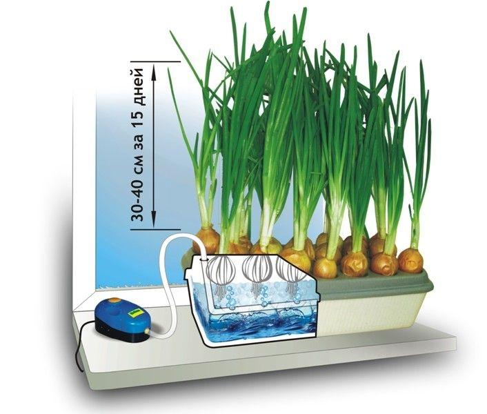 Пример прорасщивателя зеленого лука на подоконнике