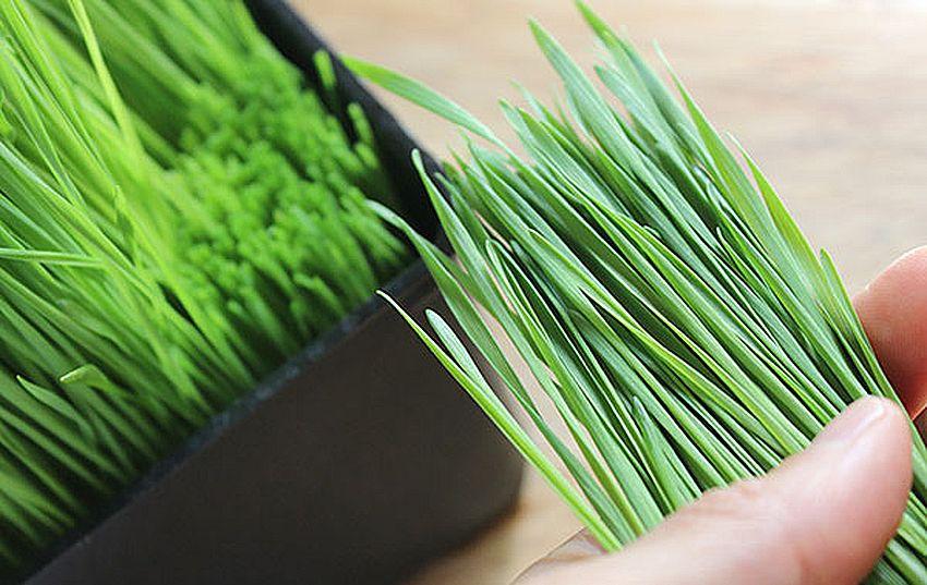 Срезать 8 см ростков пшеницы для того, чтобы сделать витграсс
