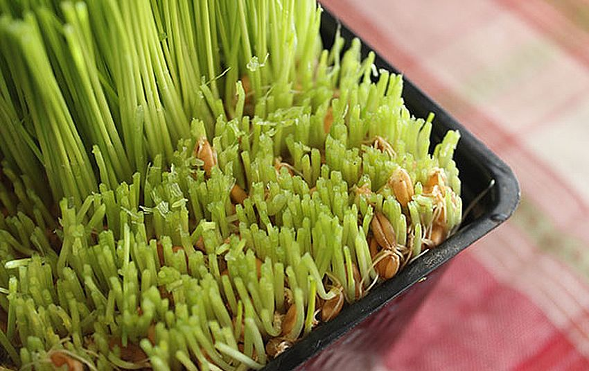 wheatgrass-2