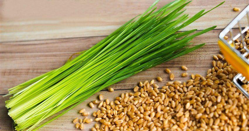 Ростки пшеницы с проросшими стеблями