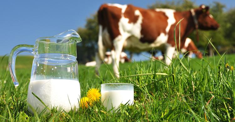 Коровье молоко - источник сливок и сливочного молока